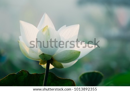 Royalty high quality free stock image of a white lotus flower. The background is the lotus leaf and white lotus flower and lotus bud in a pond. Viet Nam. Peace scene in a countryside, Vietnam