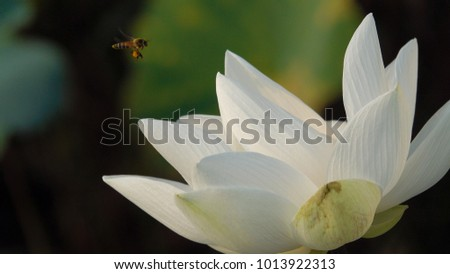 Royalty high quality free stock image of a white lotus flower the royalty high quality free stock image of a white lotus flower the background is the mightylinksfo