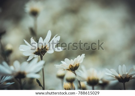 Royalty high quality free stock image of background flower. Beautiful white daisy flowers with old film burn background. Vintage style