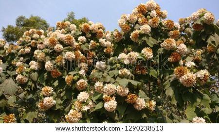 Roza Filipes flowers, a climbing shrub origin from China #1290238513