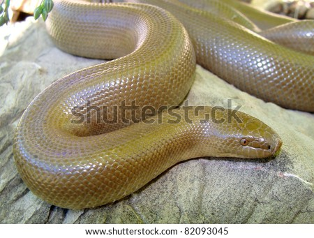 Rubber Boa, Charina bottae