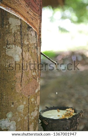 Rubber crop in a rubber tree plantation in southern Thailand, Krabi, Thailand, Southeast Asia, Asia