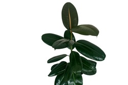 Rubber fig or rubber tree plant (Ficus elastica) with shiny dark green leaves popular indoors garden houseplant isolated on white background, clipping path included.