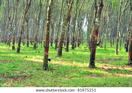Rubber forest