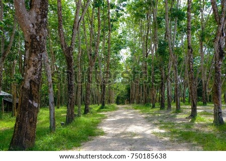 Rubber from the rubber tree,In the rubber plantation #750185638