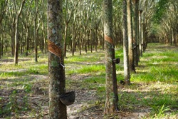 Rubber Latex extracted from rubber tree in thailand