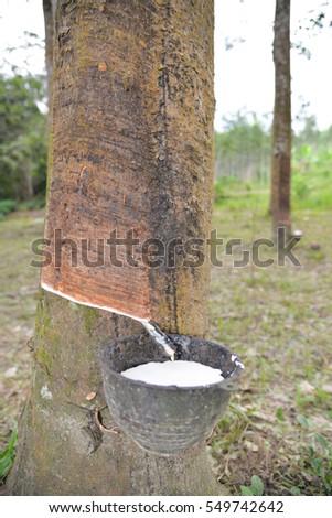Rubber Latex of rubber tree in rubber garden #549742642