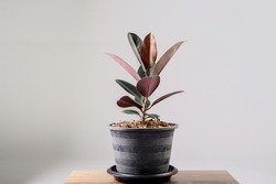 Rubber Plant. India Rubber Fig tree isolated on gray background. Red tree Rubber.