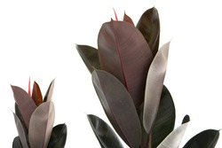 Rubber Plant Leaves on white background.