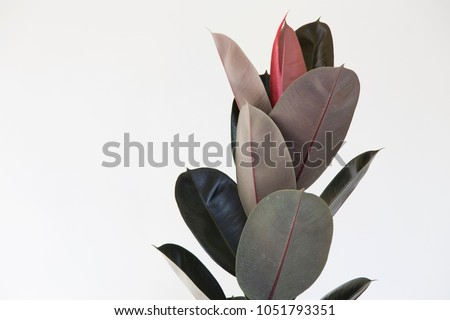 Rubber Plant Leaves on white background