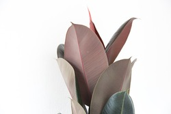 Rubber plant on withe background.