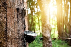 Rubber plantation After harvest in southern Thailand