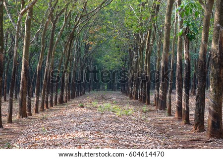 Rubber plantation and forest in Binh Duong, Viet Nam