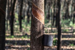 Rubber plantation for the extraction of latex, raw material in the manufacture of rubber, in Sao Paulo state, Brazil