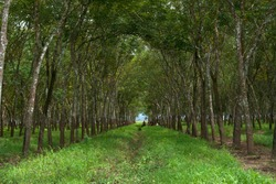 Rubber Plantation garden in central java Indonesia