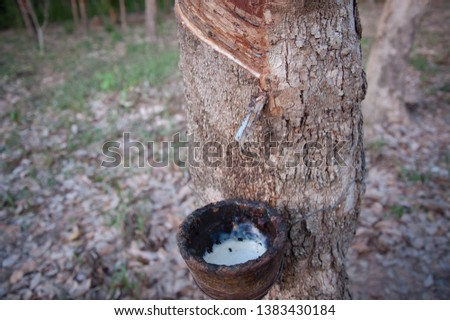Rubber plantations, rubber trees with rubber marks and latex in the cup #1383430184