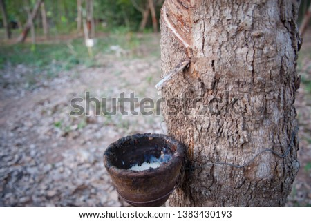Rubber plantations, rubber trees with rubber marks and latex in the cup #1383430193