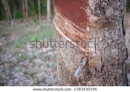 Rubber plantations, rubber trees with rubber marks and latex in the cup #1383430196