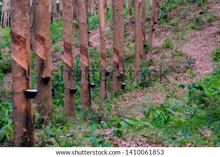 Rubber plantations, rubber trees with rubber marks and latex in the cup #1410061853