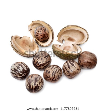 Rubber seed, Rubber tapper. Rubber seeds isolated on white background #1177807981
