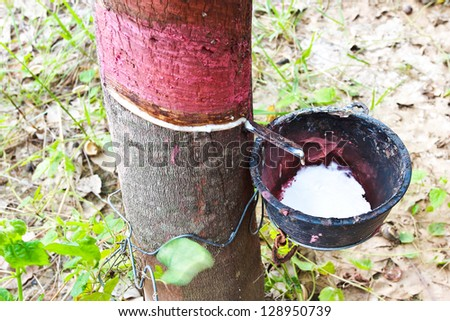 Rubber Tapping in Thailand.
