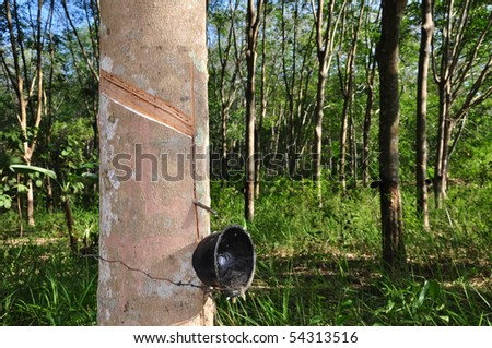 Rubber tree background, Thailand, Southeast Asia.