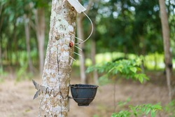 Rubber tree (Hevea brasiliensis) produces latex by using ethylene gas to accelerate productivity. Latex like milk Conducted into gloves, condoms, tires, tires