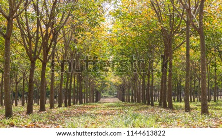 Rubber Tree in Rubber Forest Background. Rubber forest in rainy season with yellow and green leaves #1144613822