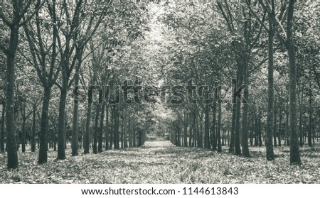 Rubber Tree in Rubber Forest Background. Rubber forest in rainy season with yellow and green leaves #1144613843