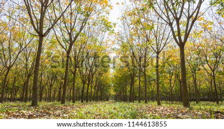Rubber Tree in Rubber Forest Background. Rubber forest in rainy season with yellow and green leaves #1144613855