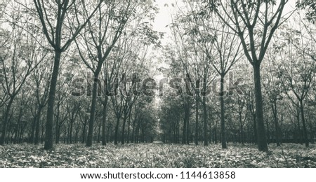 Rubber Tree in Rubber Forest Background. Rubber forest in rainy season with yellow and green leaves #1144613858