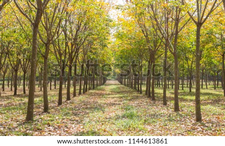 Rubber Tree in Rubber Forest Background. Rubber forest in rainy season with yellow and green leaves #1144613861