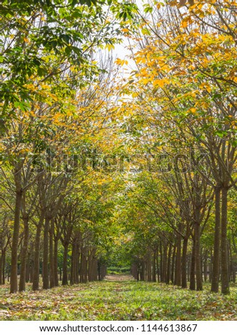 Rubber Tree in Rubber Forest Background. Rubber forest in rainy season with yellow and green leaves #1144613867