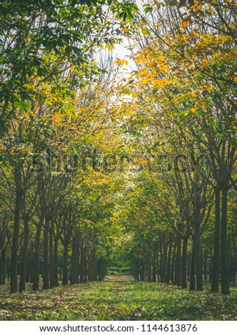 Rubber Tree in Rubber Forest Background. Rubber forest in rainy season with yellow and green leaves #1144613876