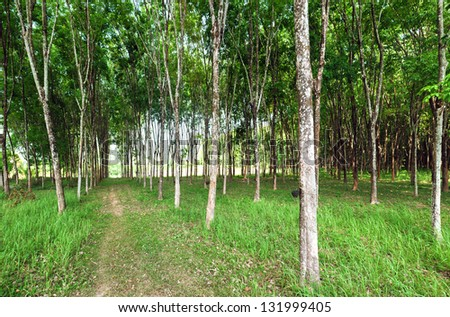 Rubber tree natural latex extraction. Hevea plants in Thailand.