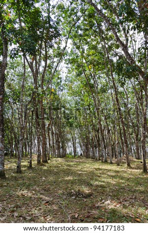 Rubber tree plantation in rows