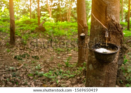 Rubber tree plantation. Rubber tapping in rubber tree garden in Thailand. Natural latex extracted from para rubber plant. Latex collect in plastic cup. Latex raw material. Hevea brasiliensis forest.
