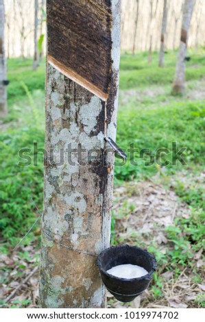 Rubber tree with rubber latex. Rubber tree is the one of most economic crop in south of Thailand  #1019974702