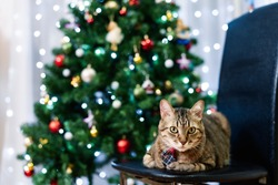 Rubbing a homemade gray tabby cat in a plaid tie with a Christmas tree in the background. Christmas card, family holiday concept.