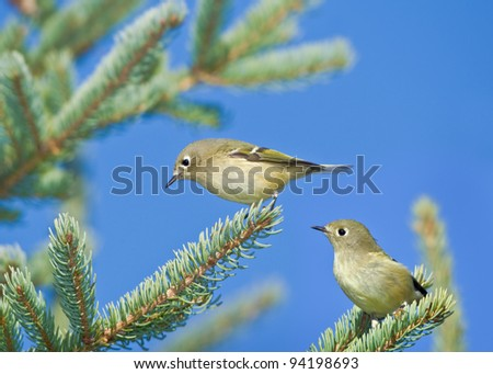 Ruby-crowned Kinglets in the pine tree. Latin name - Regulus calendula.