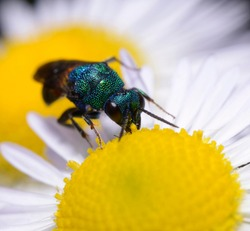 Ruby-tailed wasp, Chrysis ignita, eating yellow pestle of a field chamomile flower