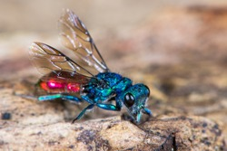 Ruby-tailed wasp (Chrysis sp.). Cuckoo wasp in family Chrysididae with bright metallic blue and red markings, also known as emerald wasps