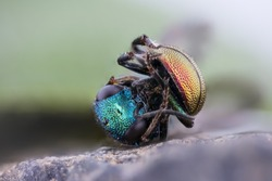 Ruby-tailed Wasp extrem macro stack, Hedychrum nobile