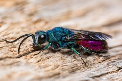 Ruby Tailed Wasp Insect Macro