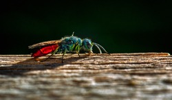 ruby tailed wasp Insect Pest Cuckoo Insect Wildlife