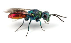 Ruby-tailed Wasp on White Background