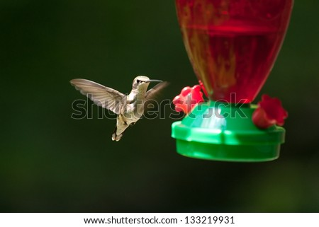 ruby throated female hummingbird in flight at a feeder filled with sugar water