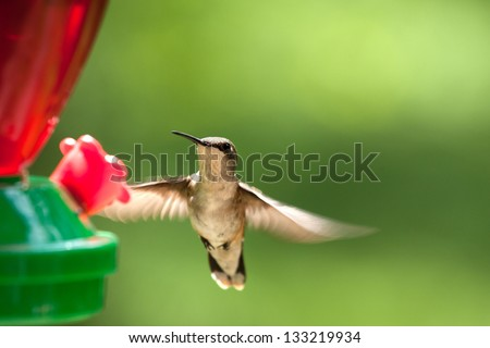 ruby throated female hummingbird in flight at a feeder filled with sugar water in sunlight