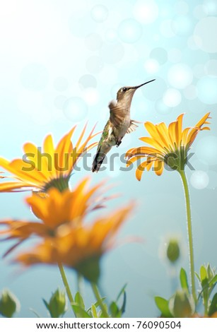 Ruby throated hummingbird approaching a group of African daisies reaching towards the sun.  Dreamy image with bokeh.