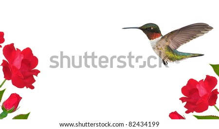 Ruby-throated Hummingbird (Archilochus colubris) at red roses - for your cards, labels, stationery, background, and other artistic needs.